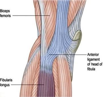 bicep femoris to fibularis longus diagram
