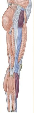 full diagram of leg muscles involved