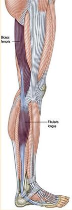 diagram of activated muscles