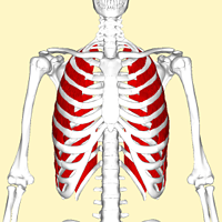 External_intercostal_muscles_frontal2