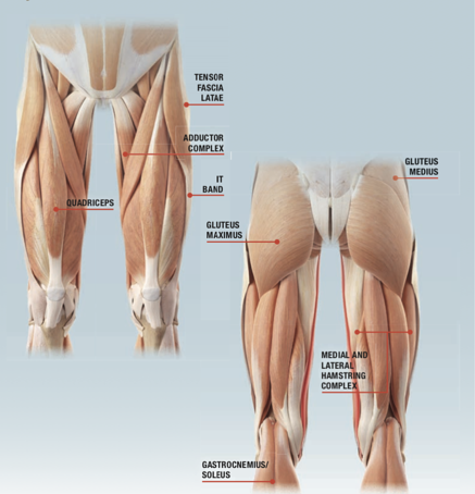 Key Muscles Associated with the Knee