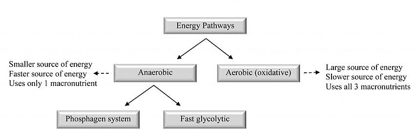 Figure 1-1: Overview of the bioenergetics pathways