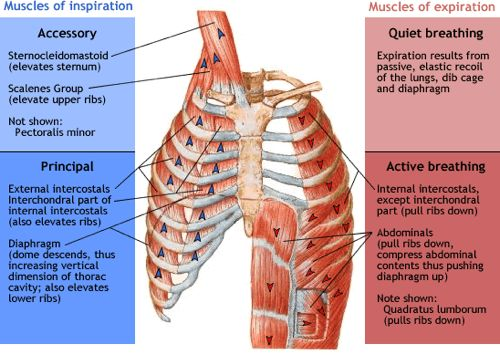 muscles of inspiration and expiration diagram