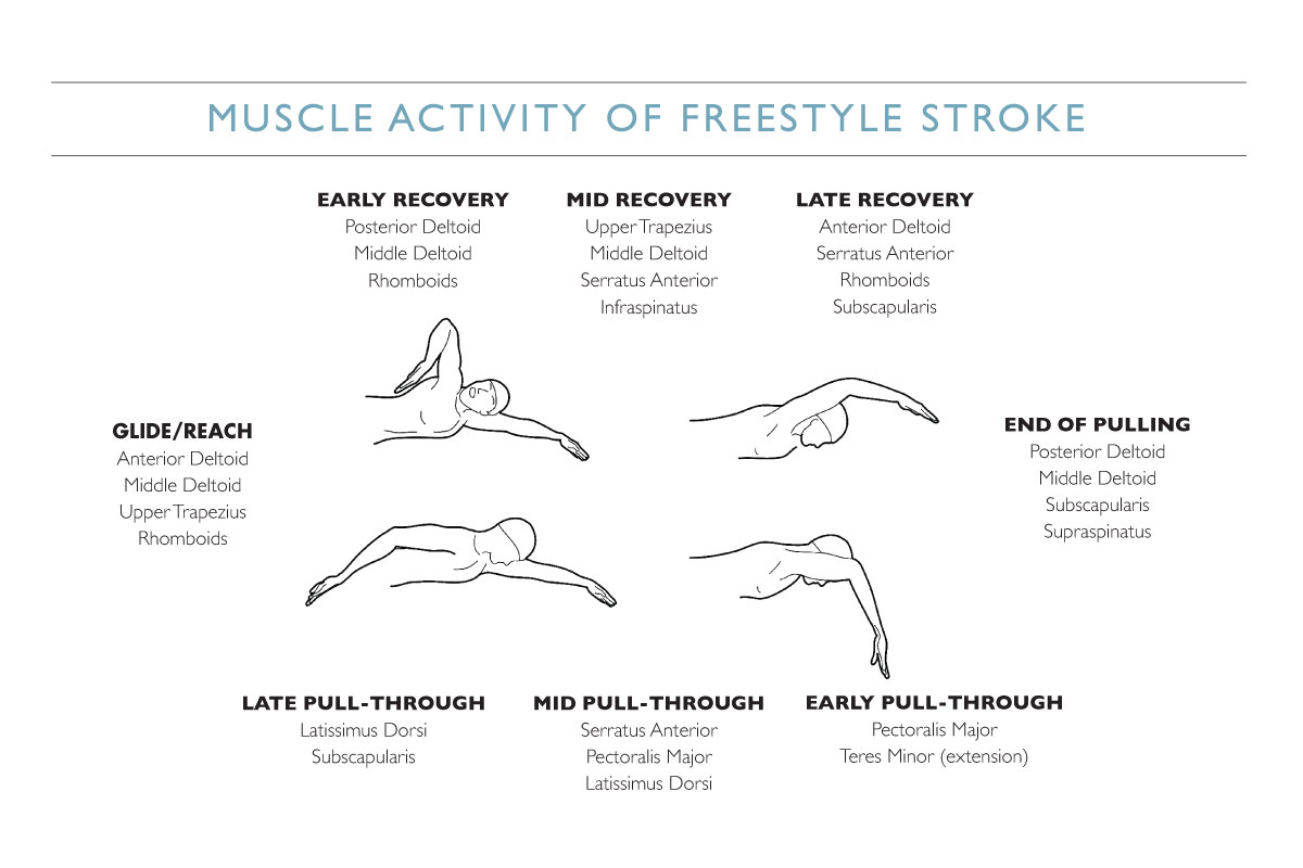 muslces involved in a swimmer's stroke